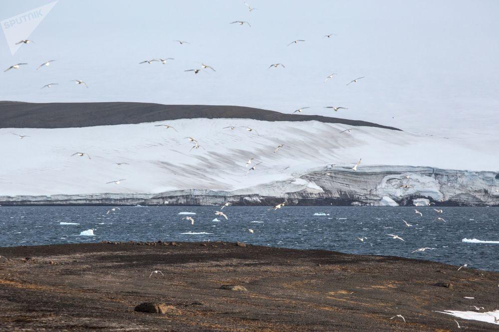 Птицы на острове Грили архипелага Земля Франца-Иосифа
