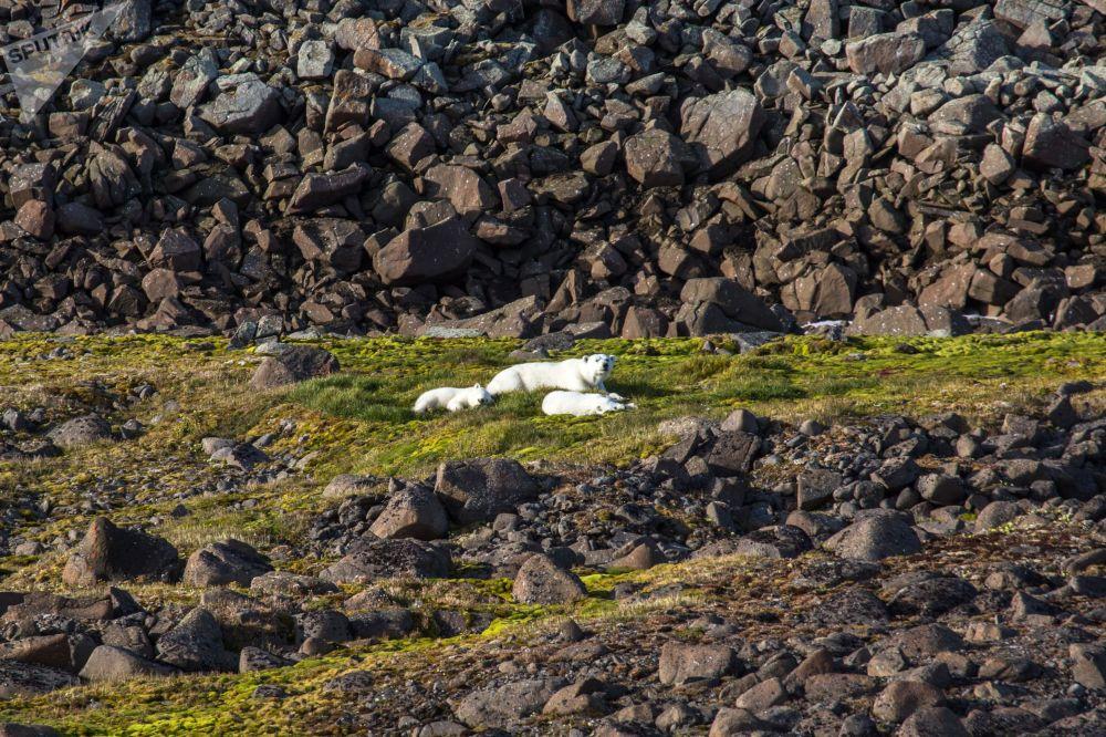 Семейство белых медведей на одном из островов архипелага Земля Франца-Иосифа