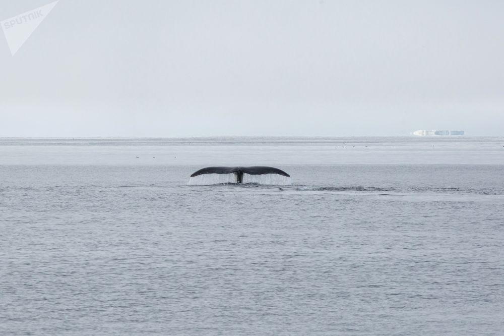 Плавающий кит рядом с островом Матильды архипелага Земля Франца-Иосифа