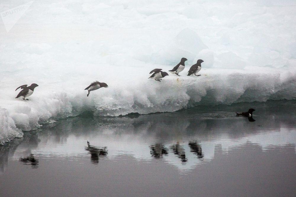 Люрики на льдине у берега одного из островов архипелага Земля Франца-Иосифа