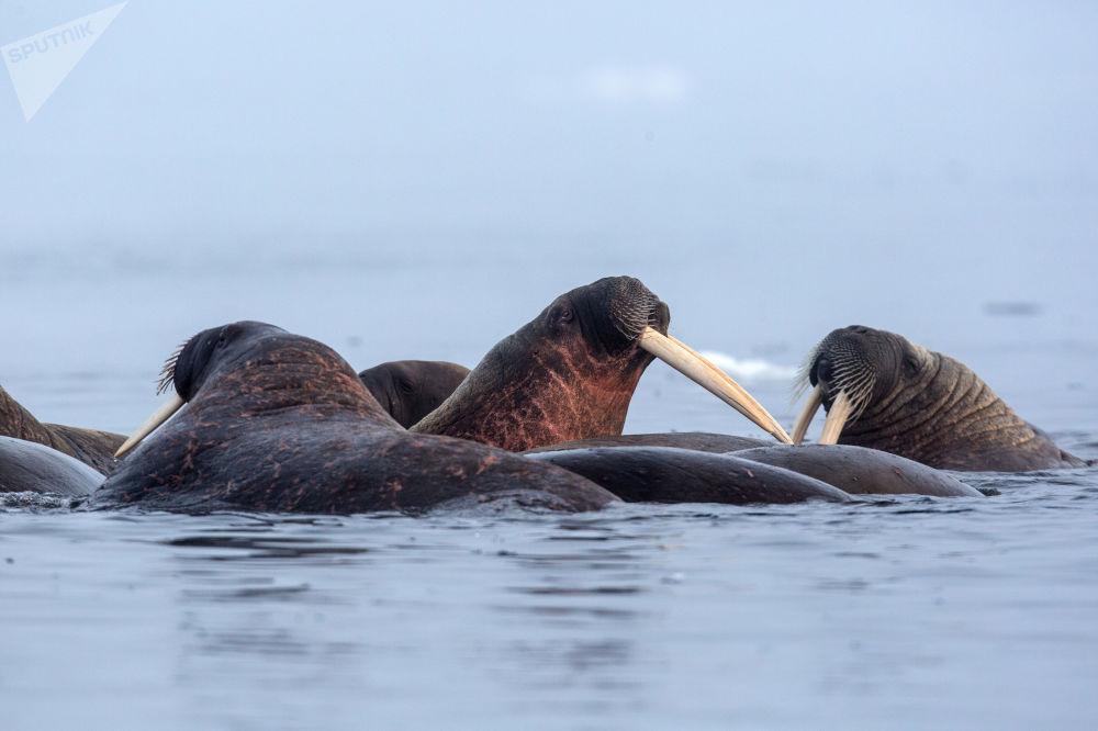 Плавающие моржи у берегов одного из островов архипелага Земля Франца-Иосифа