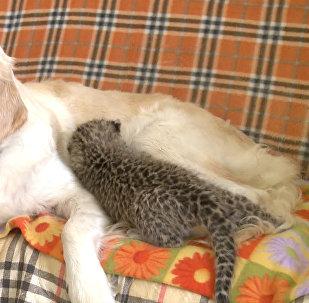 Suns kļuvis par leoparda audžumāti