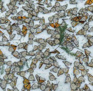 Fotogrāfa Jaime Rojo uzņēmums Monarchs in the Snow