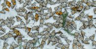 Снимок Monarchs in the Snow фотографа Jaime Rojo, вошедший в шорт-лист конкурса Environmental Photographer of the Year 201