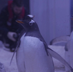 Пингвины хинду в лондонском аквариуме