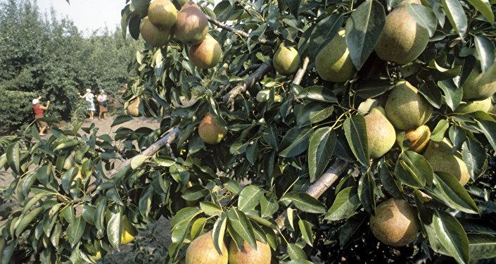 Грушевые деревья в плодовом саду