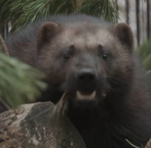 Novosibirskas zooloģiskajā dārzā kopj pamestu āmrijas pusaudzi