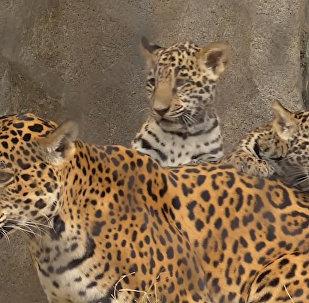 Hjūstonas zooloģiskajā dārzā piedzimuši jaguāra mazuļi