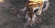 Kas te ūsās ņaud: Krimas parkā Tajgans piedzimst Amūras tīģerēni