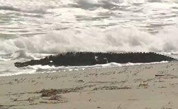 Floridas pludmalē pamanīts krokodils