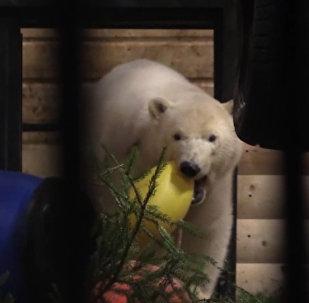 Белая медведица из Якутии осваивается в Ленинградском зоопарке