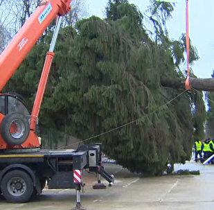В Подмосковье срубили главную елку страны