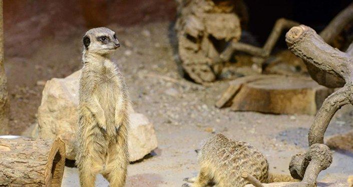 Сурикаты в обновленном террариуме рижского зоопарка
