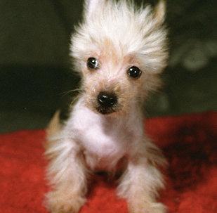 Щенок китайской хохлатой голой собаки