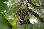 Kaķis kokā