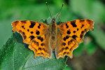 Бабочка углокрыльница c-белое