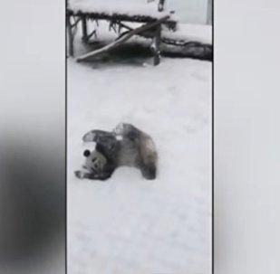 Ķīnā panda priecājas par sniegu gluži kā bērns