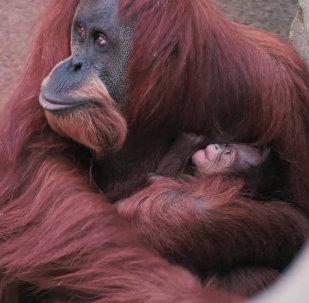 Britu zoodārzā piedzimis reti sastopamā orangutāna mazulis