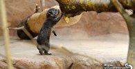 В семье даманов Рижского зоопарка прибавление