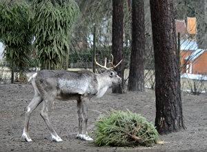 Gadsimta cīņa Rīgas zoodārzā: briedis pret eglīti