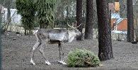 Битва века в Рижском зоопарке: бриедис против елочки