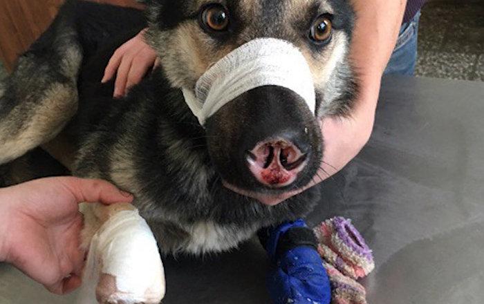 Dzīvnieku mocītāja sakropļotais suns atradis mīlošu ģimeni