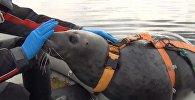 Тюленей в Мурманске тренируют для военных целей