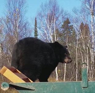 Двух медвежат уговаривали покинуть мусорный контейнер в США