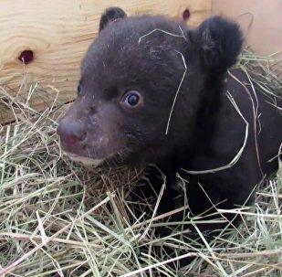 Ветеринары выхаживают гималайского медвежонка
