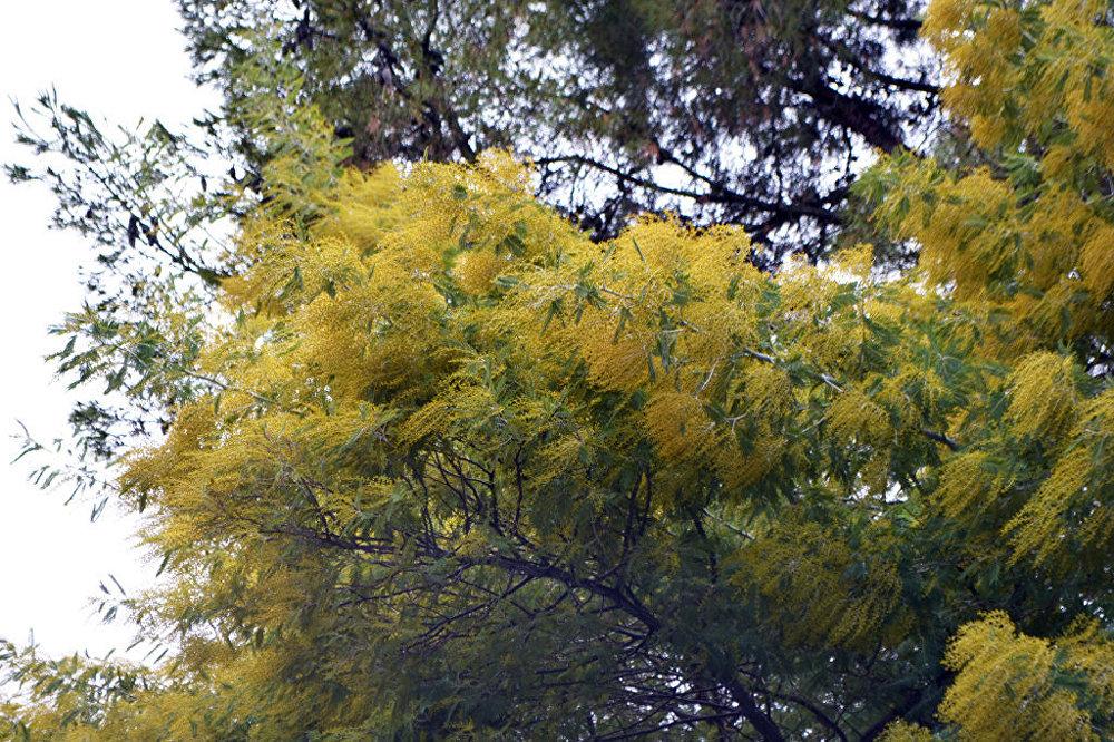 Цветущая мимоза в мадридском парке Quinta de los Molinos