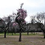 Цветущий миндаль в мадридском парке Quinta de los Molinos