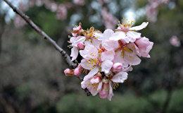 Ziedošas mandeles parkā Quinta de los Molinos Madridē