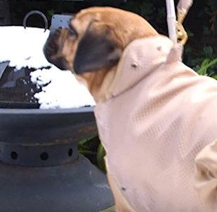 Dzīvot skaisti nevar aizliegt: briti pašuvuši suņiem apģērbu no zelta