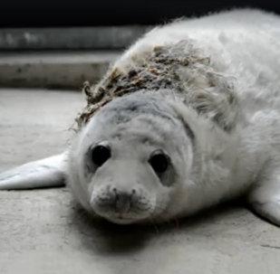 Rīgas Zoodārzā nogādāts ievainots ronēns