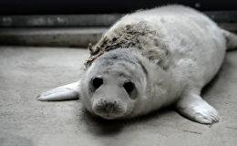 В Рижский зоопарк доставлен первый в этом году раненый тюлененок