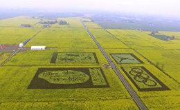 В Китае расцвели рапсовые поля