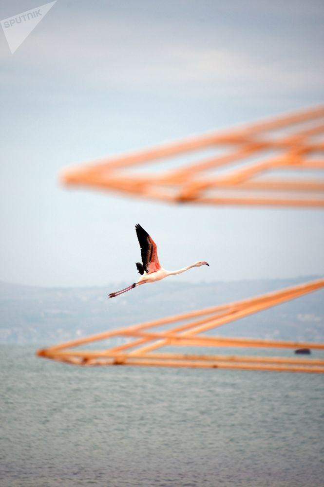 Фламинго в Феодосии, Крым