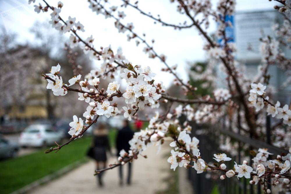 Цветение вишни в Симферополе, Крым