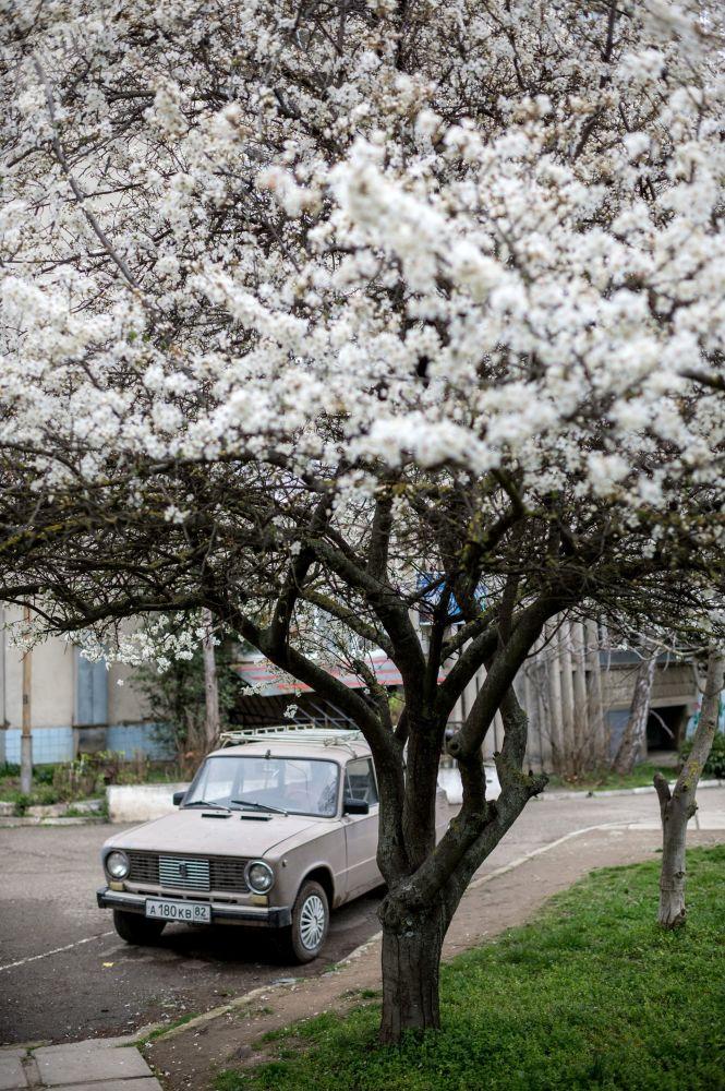 Цветение вишни в Алуште, Крым