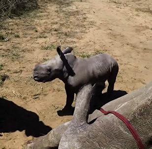 Маленький носорог отважно защищает маму