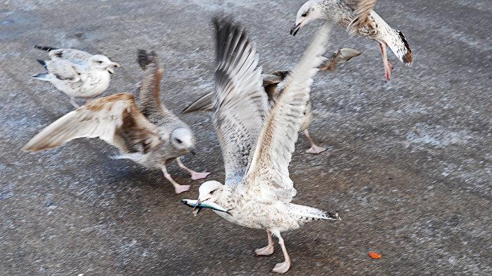 Городские чайки в Риге