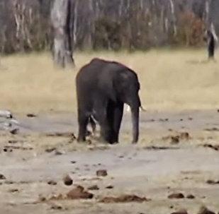 Zilonēns Zimbabves nacionālajā parkā nepadevās lauvu baram – mazulis drosmīgi uzsāka cīņu.