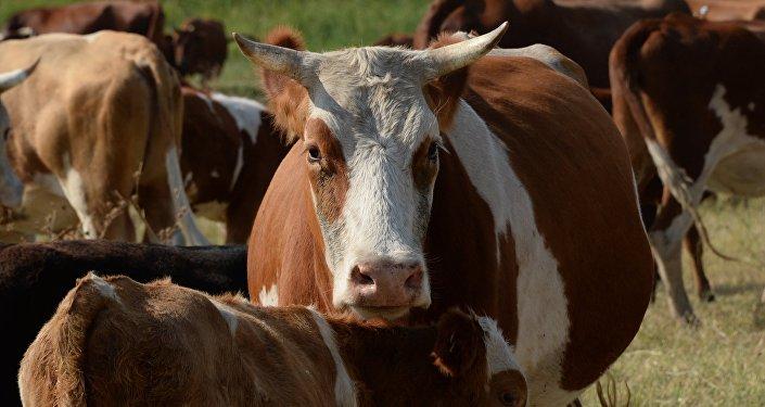 Govju bars. Foto no arhīva
