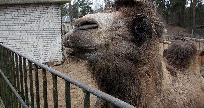 Отправка из Рижского зоопарка верблюдов и лам в Тбилисский зоопарк